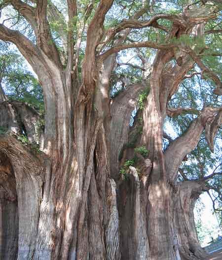 Kỳ cây